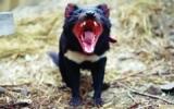 EL DEMONIO DE TASMANIA Y EL CÁNCER EN ANIMALES